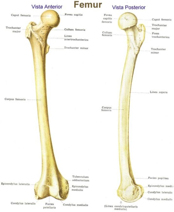 Perfecto Ubicación Hueso Del Fémur Imagen - Anatomía de Las ...